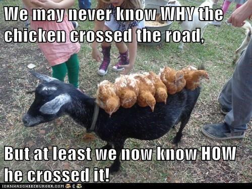 Funny Chicken Jokes: Pin By Danielle Norton On Bawk Bawk