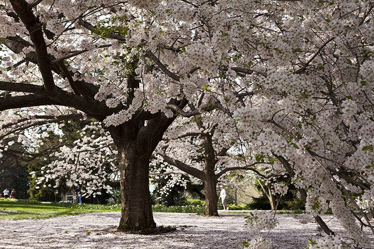 Yoshino Flowering Cherry Tree Considered One Of The Most