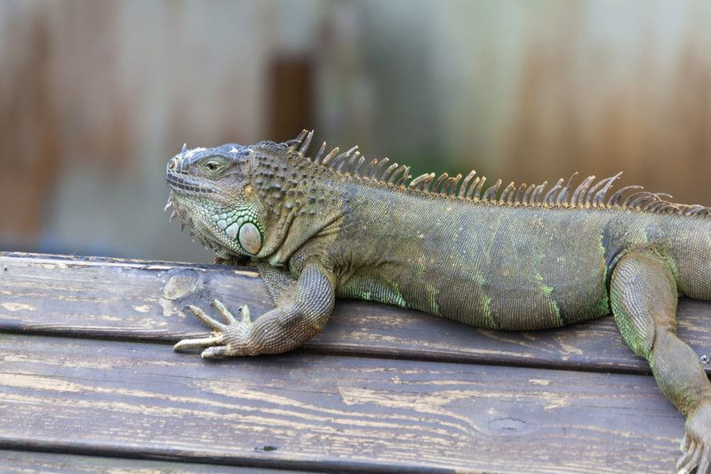 イグアナの飼い方 爬虫類の飼育における魅力や注意点 イグアナ 爬虫類 動物 写真
