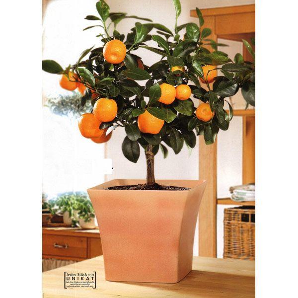 Orange Tree Houseplant Heck Yes Green Is Gold Indoor