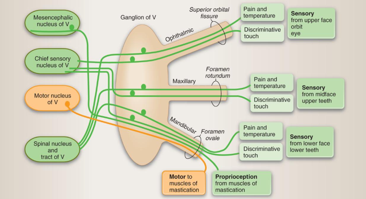 Картинки по запросу nuclei of trigeminal nerve | Anatomy | Pinterest ...