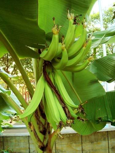 Pisang Tanduk Horn Banana Tropical Fruits Pisang Buah