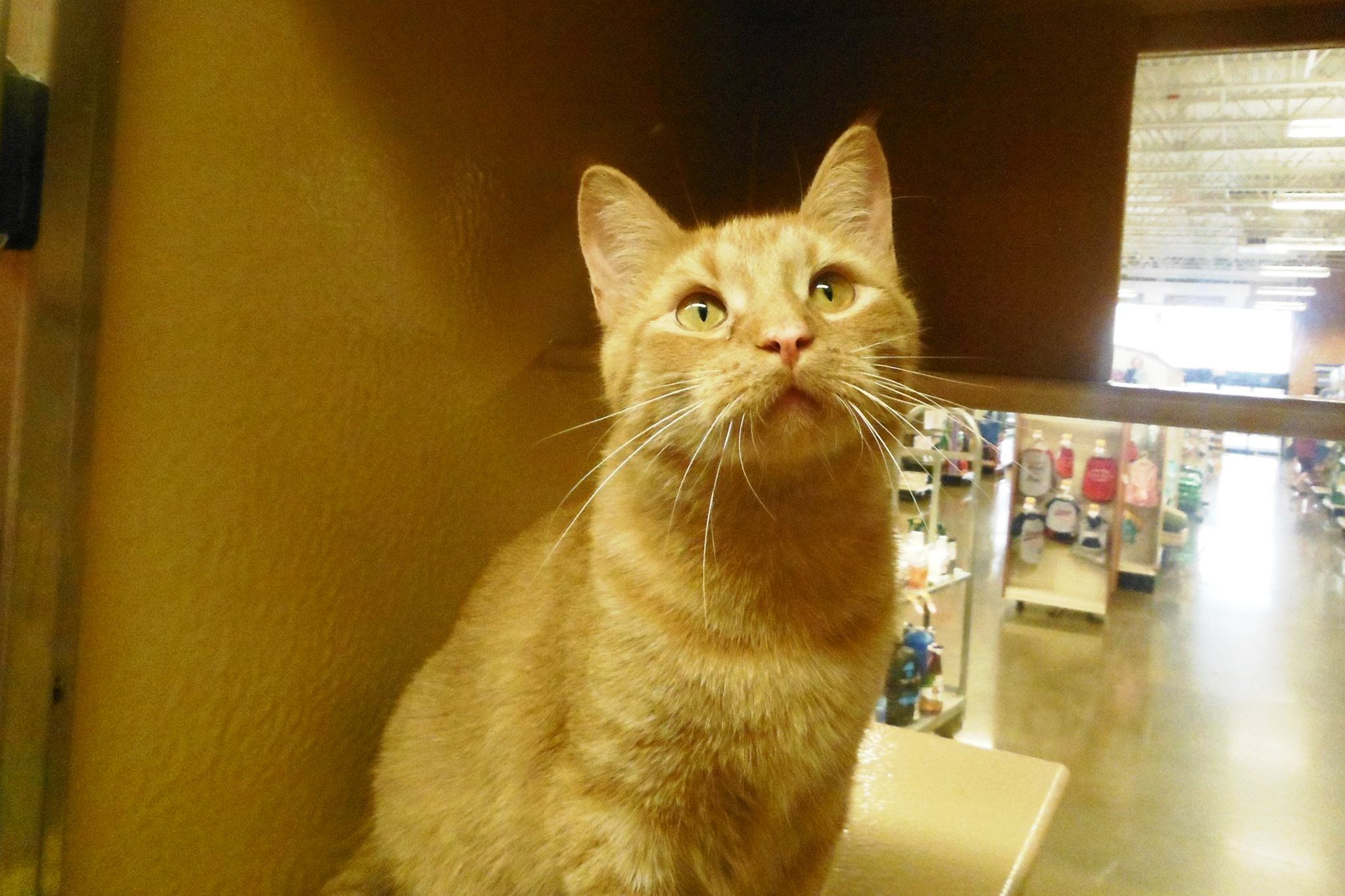 OwenOrange DSH Male 12 years old This handsome Ginger
