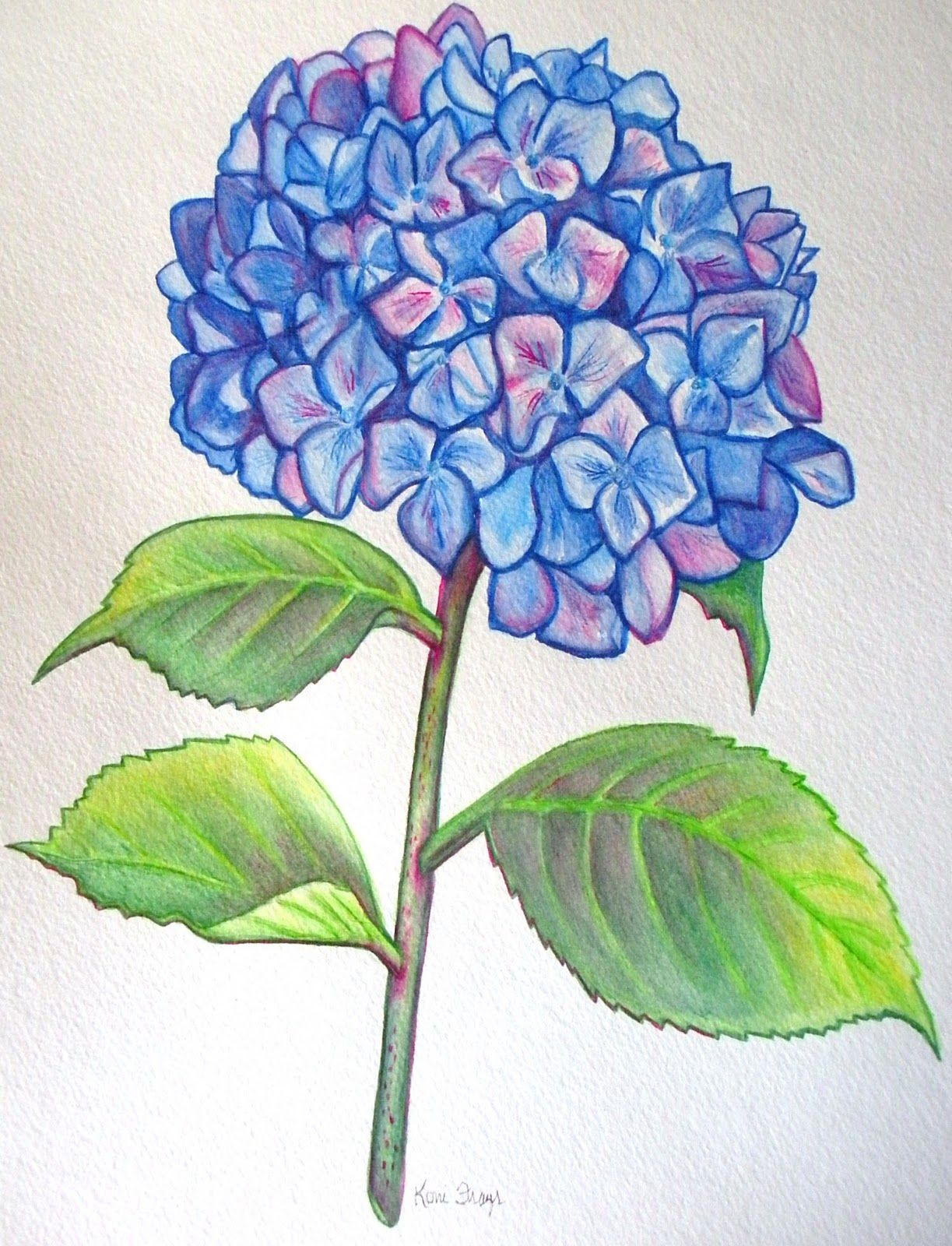 Konif Razer Flower Drawing Amazing Drawings Hydrangea