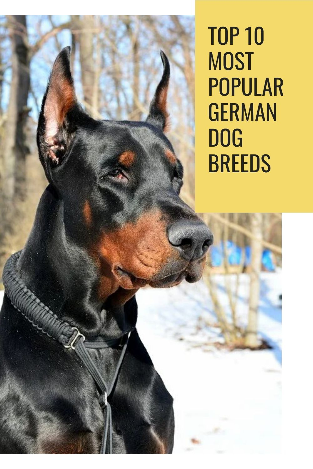 Pin by Abby Stini on dogs in 2020 German dog breeds, Dog
