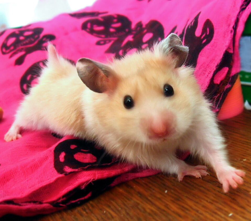Short Haired Syrian Hamster Cute Hamsters Funny Hamsters Hamster