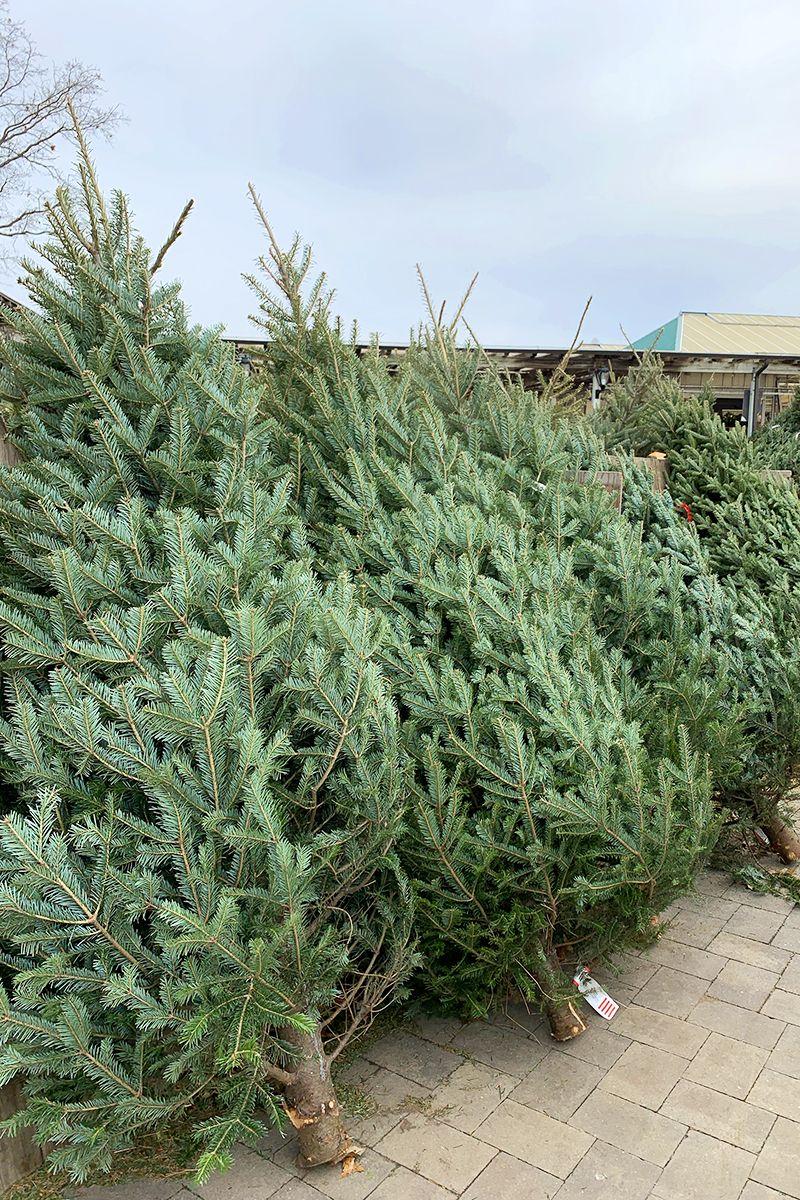 Farm Fresh Christmas Trees In 2020 Fresh Christmas Trees Real Christmas Tree Long Island Ny