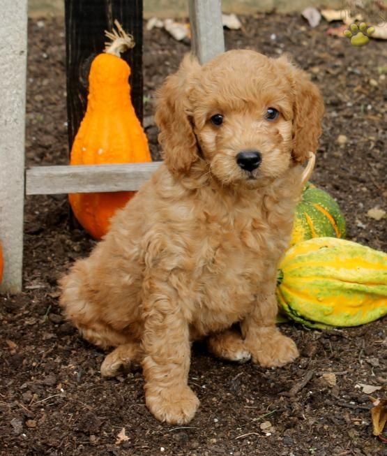 Lucky Mini Goldendoodle Puppy For Sale In Ronks Pa