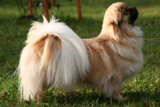 Find Tibetan Spaniel puppies for sale with pictures from