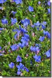 reconna tre les plantes de jardin fleurs bleues les vivaces fleurs feuilles fruits. Black Bedroom Furniture Sets. Home Design Ideas
