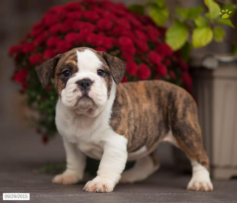 English Bulldog Puppy For Sale In Pennsylvania Bulldog