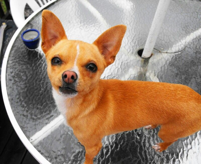 Free Chihuahua Puppies In Indiana Ideas