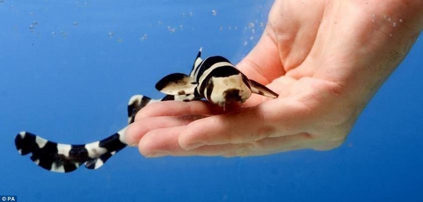 Sharks for sale animal videos pinterest shark for Shark fish pet