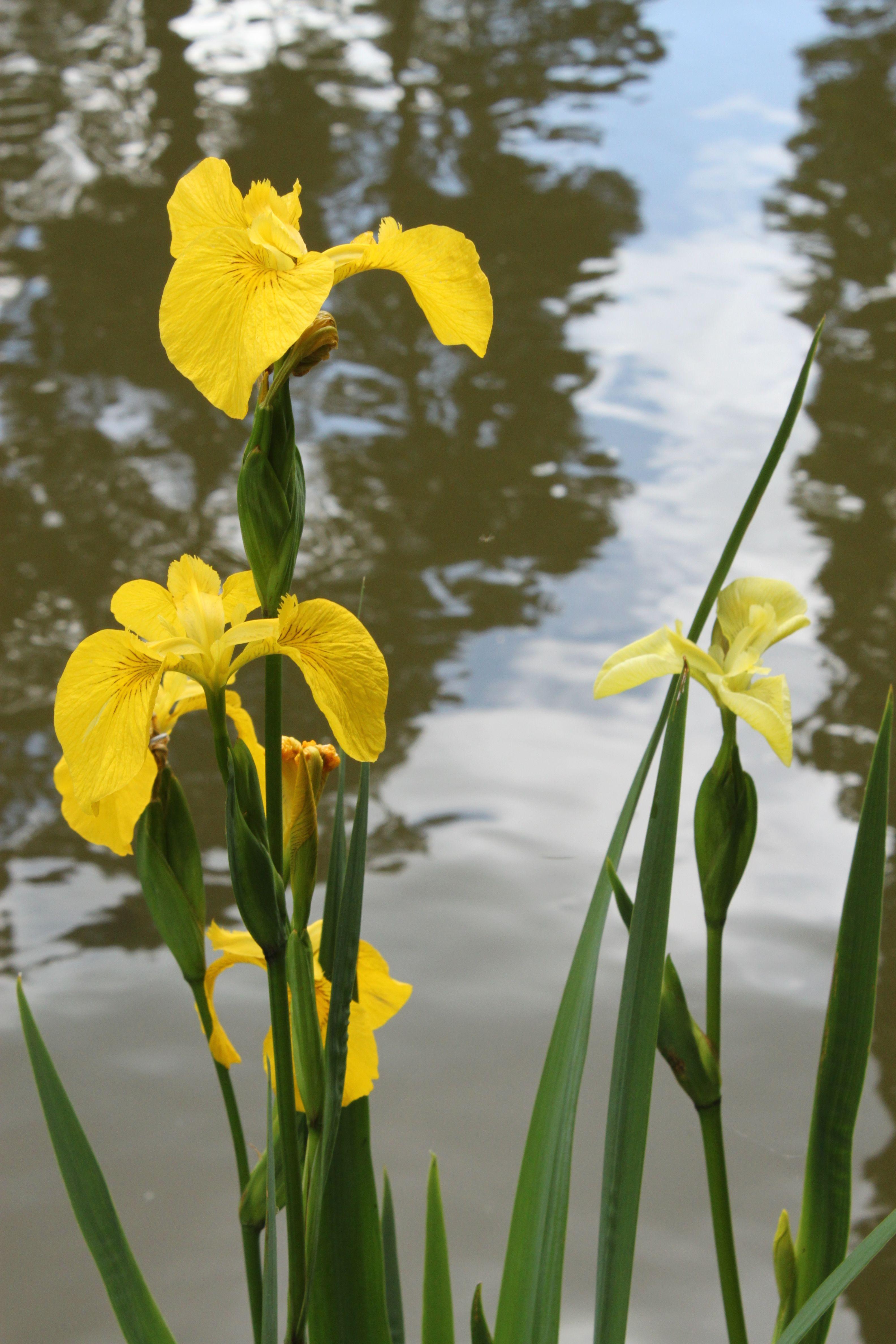 Japanese Iris Yellow Flower