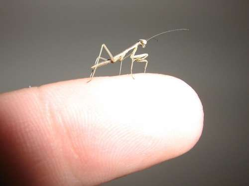 Praying Mantis Egg Sac Information How To Hatch An Egg Case Youtube