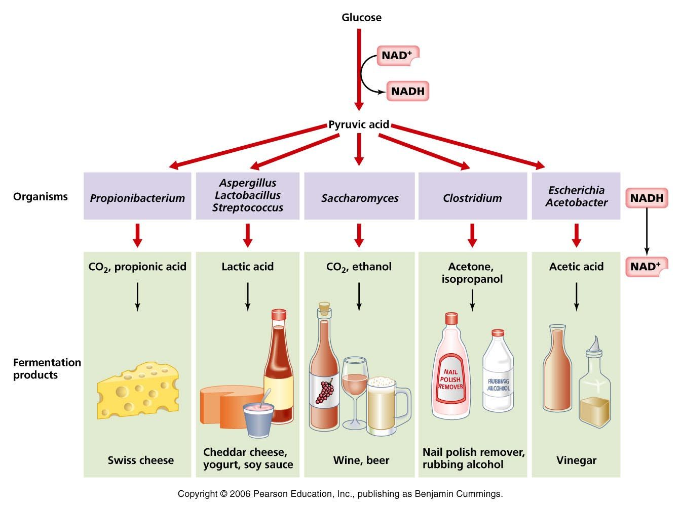 Fermentation Of Food Images Google Search Fermentation Fermentation Products What Is Bacteria