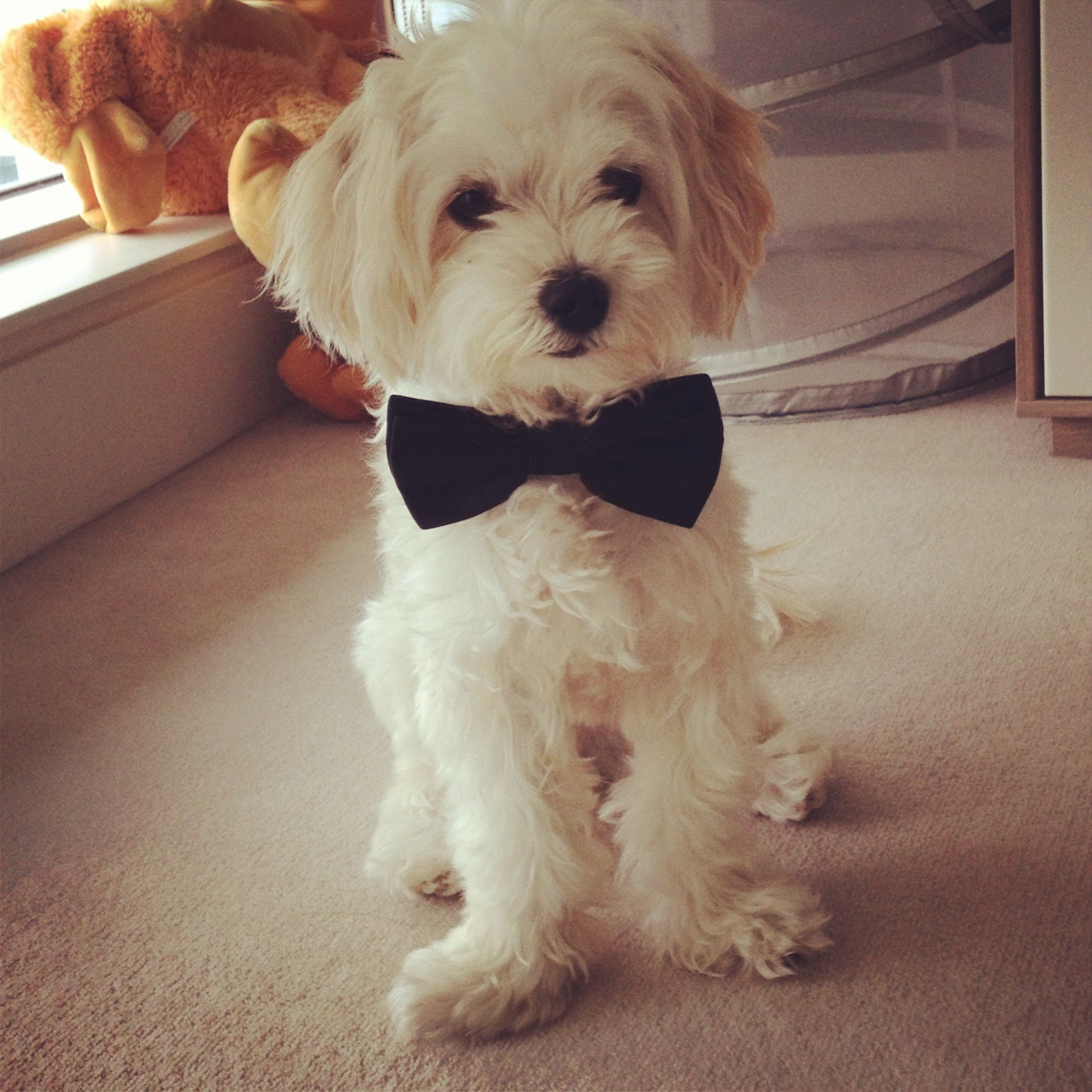 Dressed Up Maltipoo The Furry Ones Pinterest