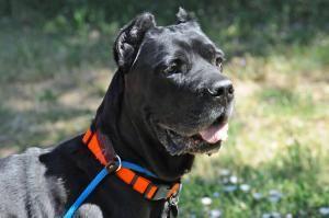 Adopt Maximus On Adoptable Furry Friends Mastiff Dogs Cane Corso Mastiff Dogs