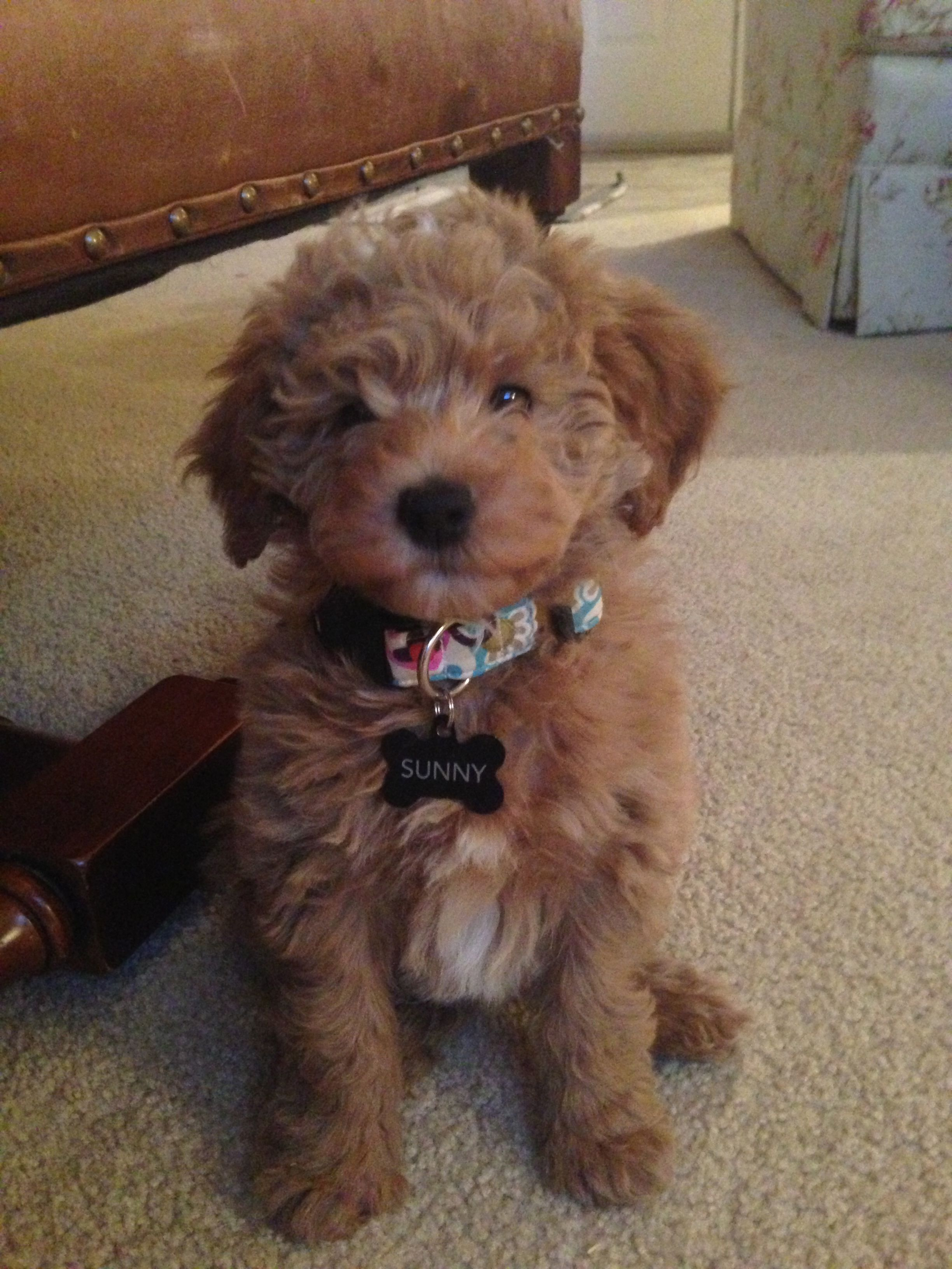 goldendoodle dogs cute Puppies and kitties, Baby