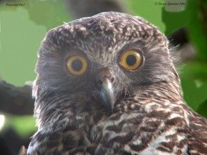 Google Image Result for http://www.camacdonald.com/birding/quested/PowerfulOwl(TQ).jpg