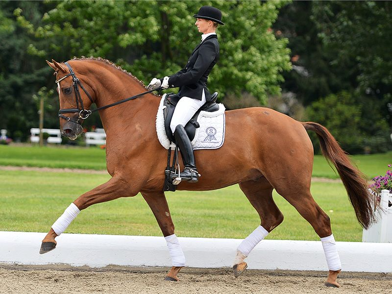 Chestnut Gelding High Five P.S.I. Auktionen | P.S.I. Auction | P.S.I. Catalogue 2012 | Dressage