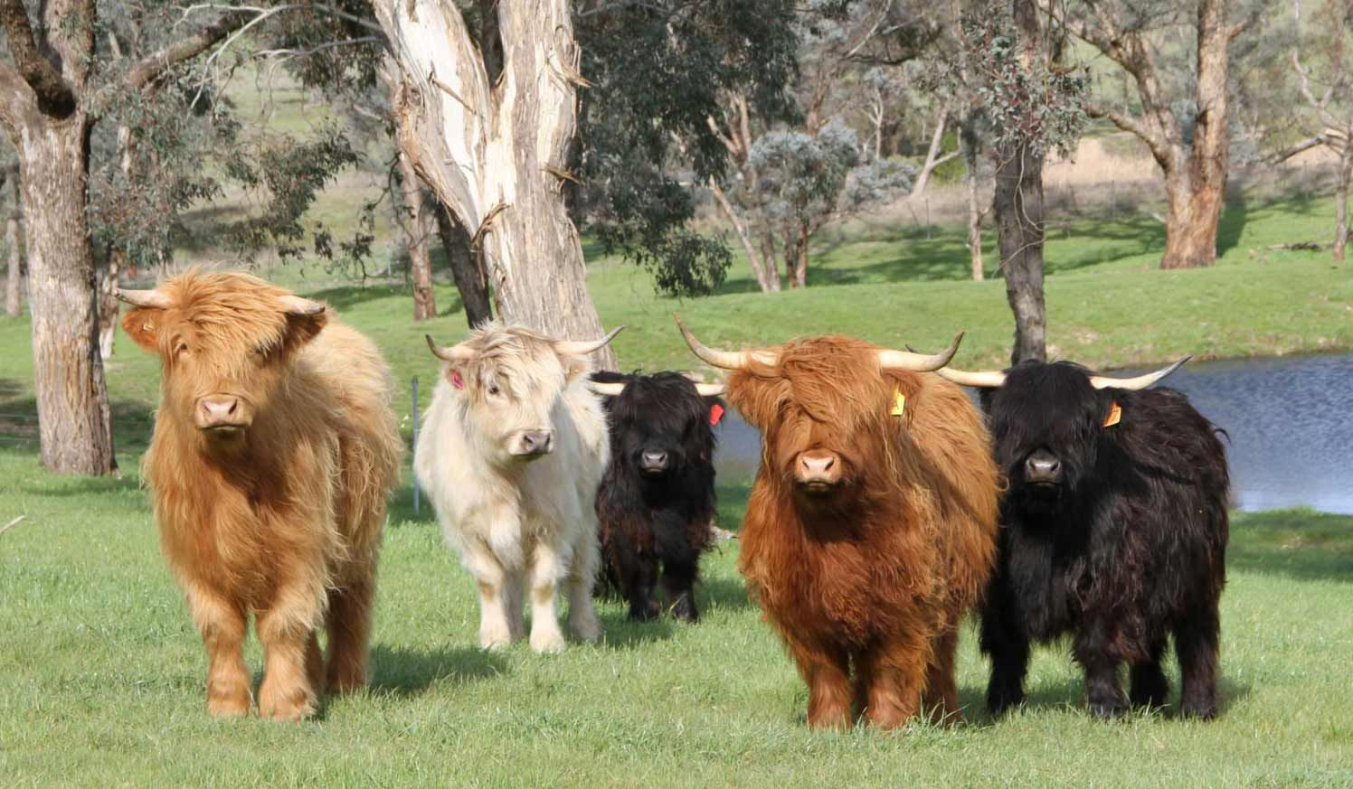 The Heilan Coo Did You Know Miniature Cow Breeds Mini Cows Highland Cattle