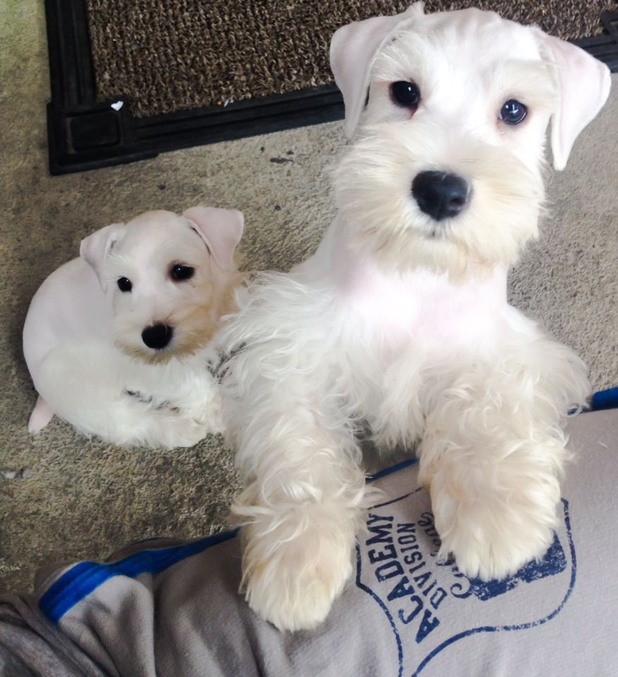 Sisters White Schnauzer White Schnauzer Schnauzer Puppy Dogs