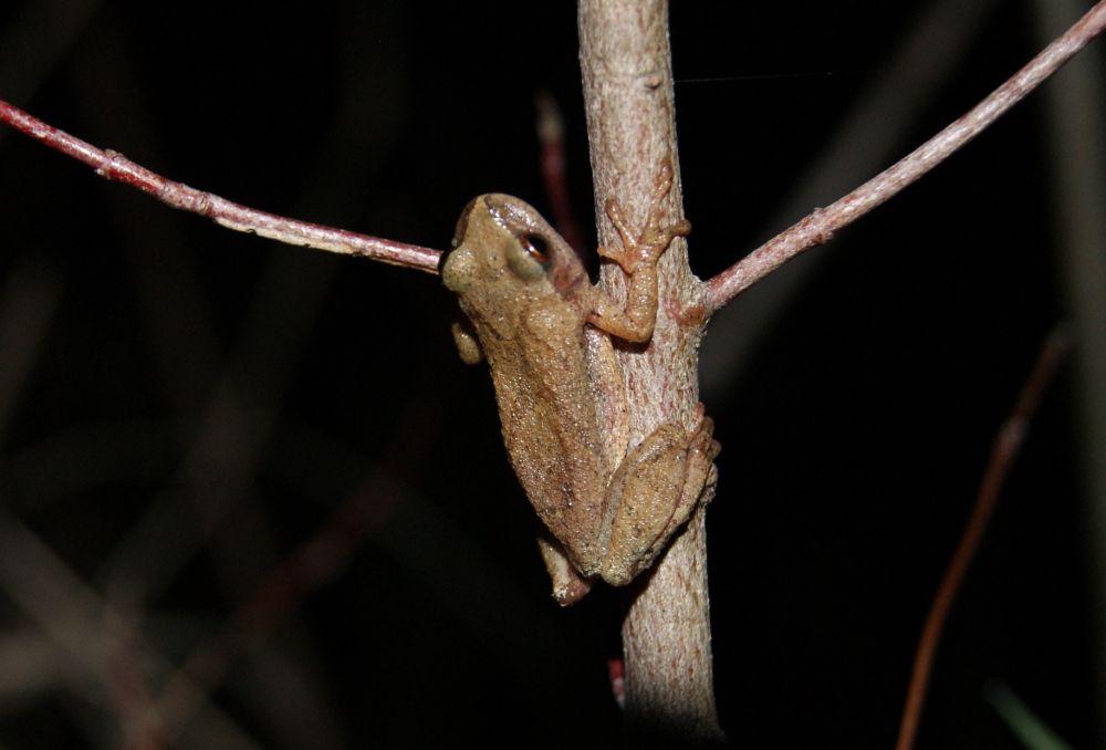 Spring Peeper (Pseudacris crucifer), Rondeau marsh, Ontario, Canada - Alex MacMillan