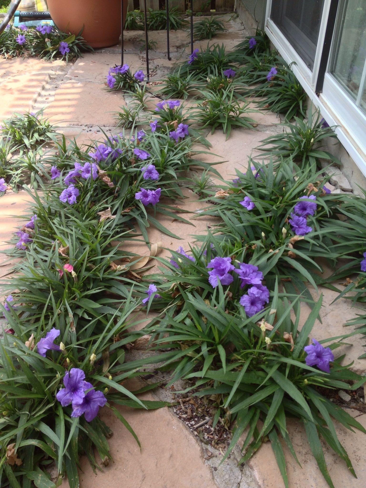 Mexican petunia flowers in my garden pinterest