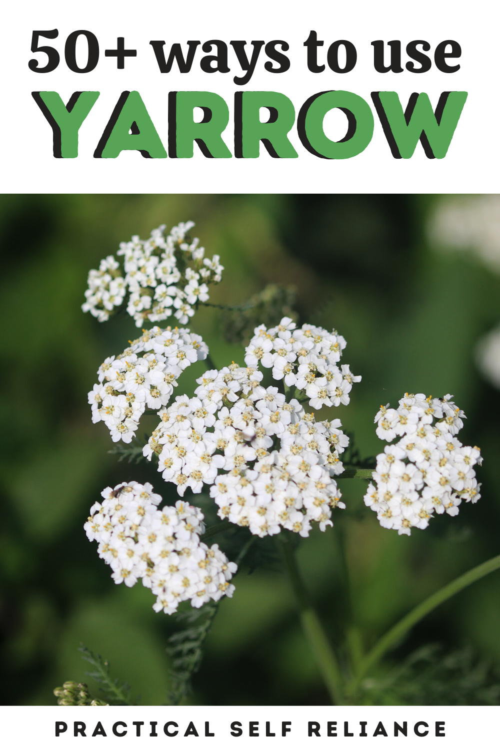 50 Ways To Use Yarrow In 2020 Yarrow Uses Yarrow Fruit Garden Plans