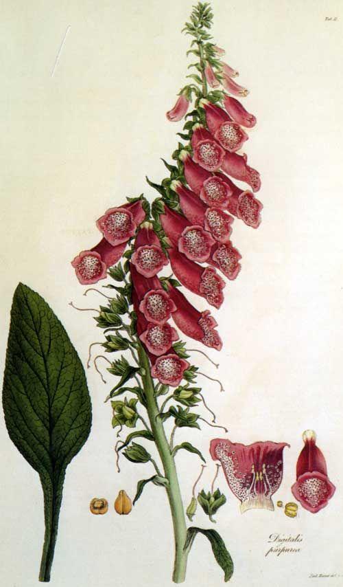 Ferdinand Bauer's Digitalis viridiflora (foxglove) - Antique botanical illustration. | vintage ...