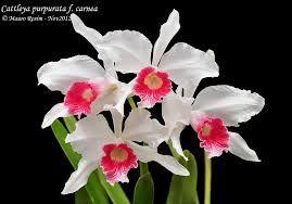 Resultado de imagem para Cattleya grossii