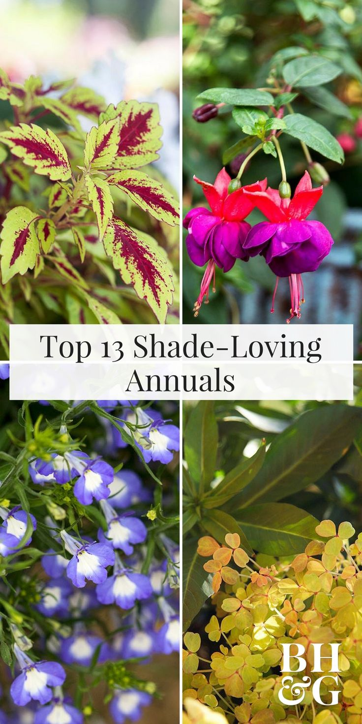 Top annual flowers to grow in the shade gardens plants and flowers izmirmasajfo