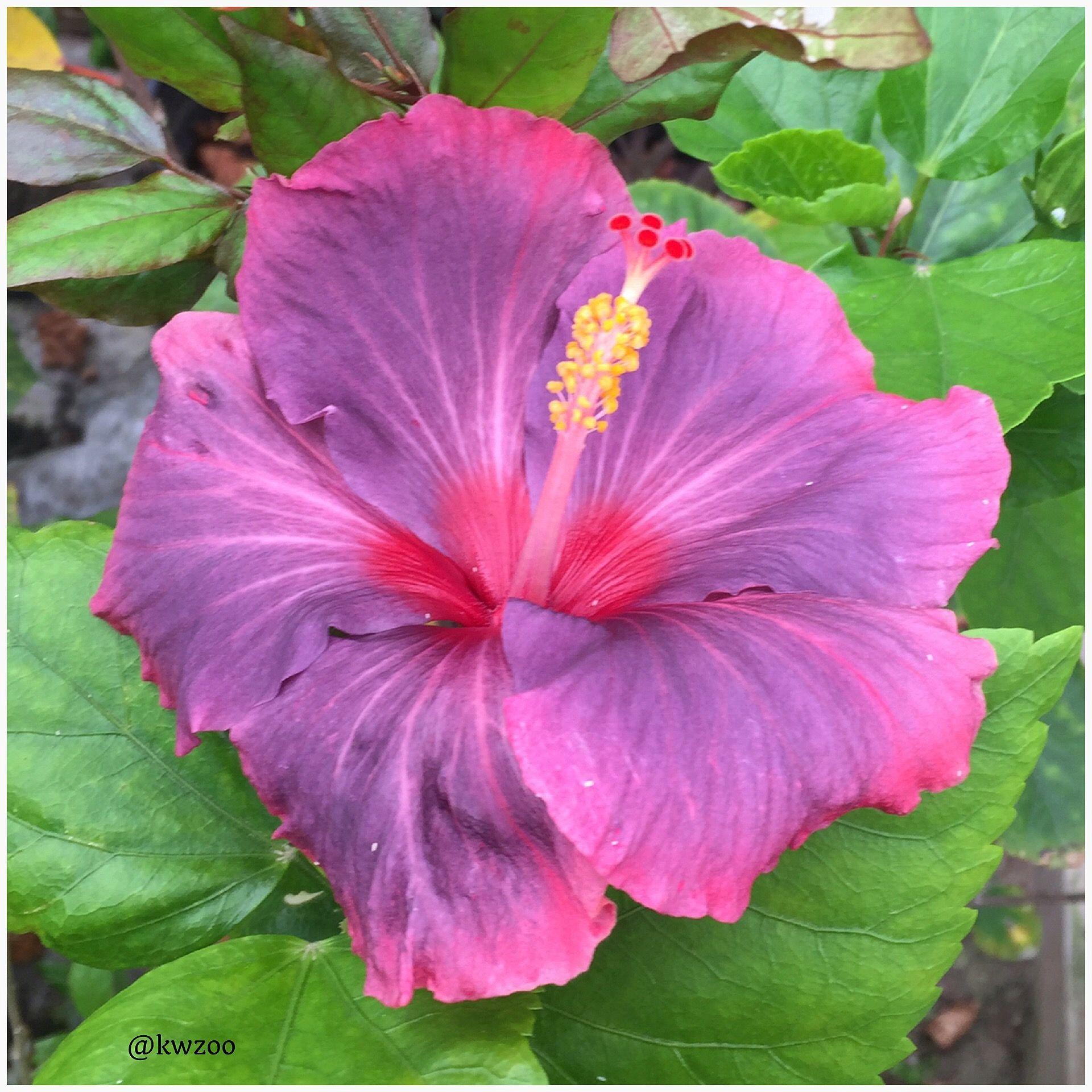 Hibiscus kuwaitzoo hibiscus flowers pinterest hibiscus hibiscus kuwaitzoo izmirmasajfo