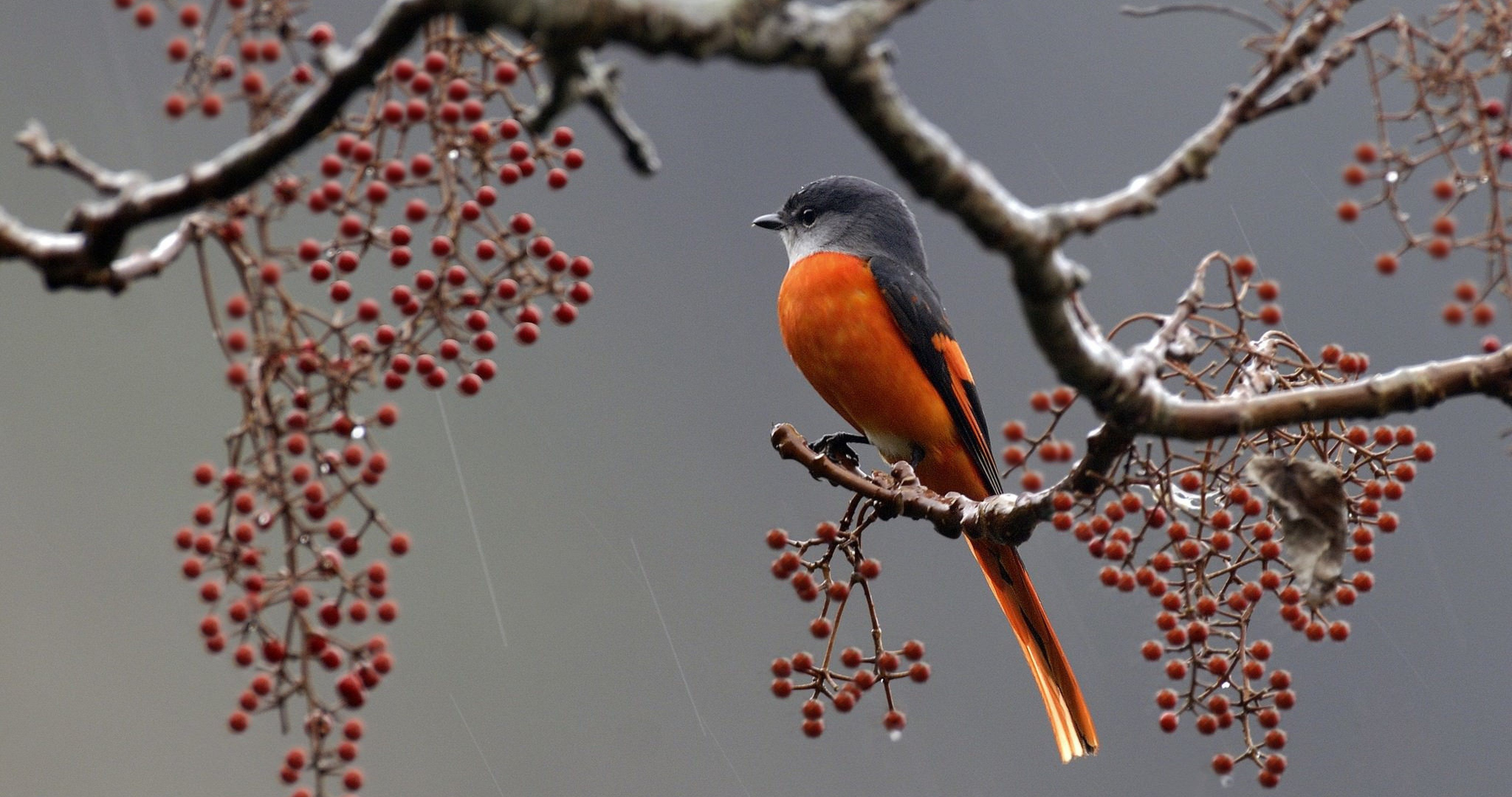 Bird On Branch With Barries 4k Ultra Hd Wallpaper Beautiful Birds Bird Bird On Branch