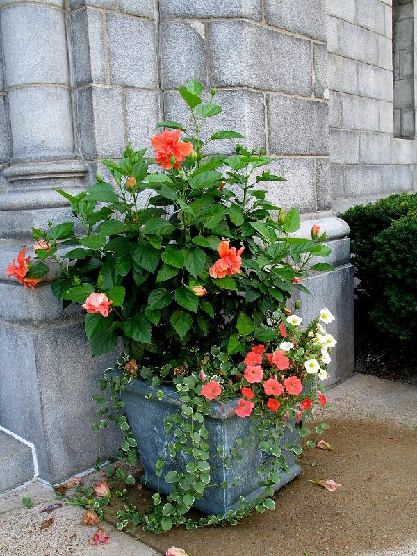 44 Best Shrubs For Containers I Love Container Gardening