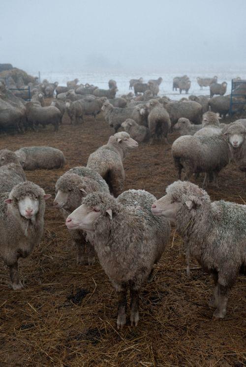 Catskill Merino Sheep Farm   Hand-Dyed Merino Yarn & Pasture Raised Lamb