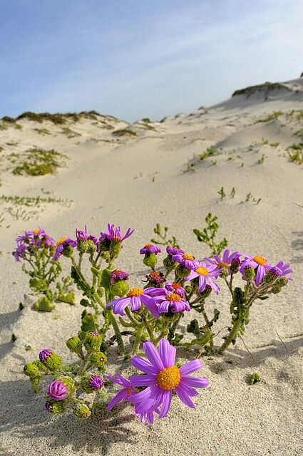 Desert flowers   Favorite Places   Spaces   Pinterest   Desert     Desert flowers