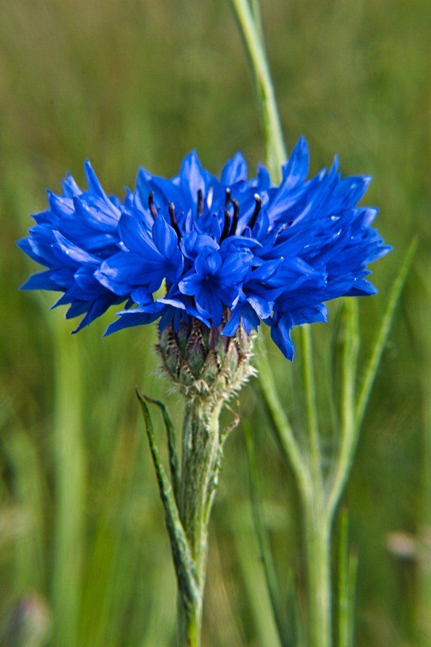 Wild Flower Cornflower Wild Cornflower Flower In 2020 Wild Flowers Flowers Cornflower