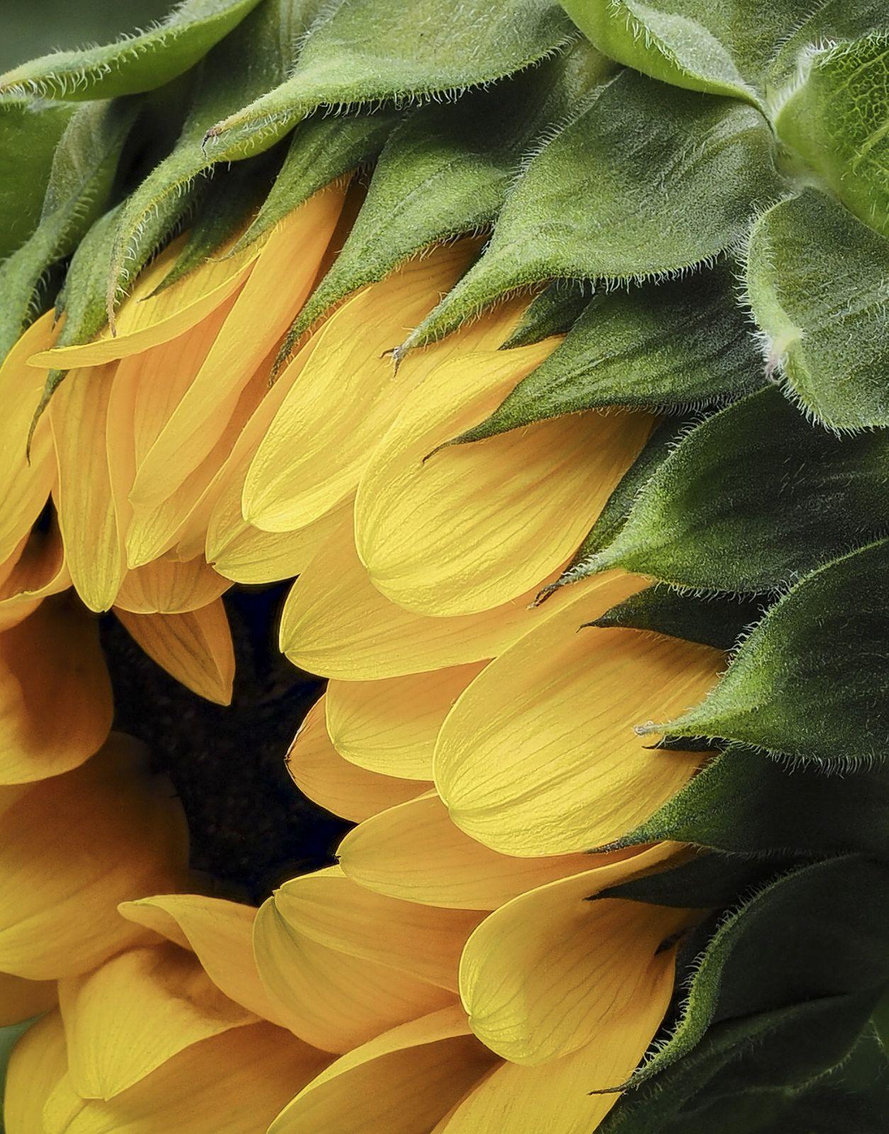 Sunflower sunflowers flowers and flower