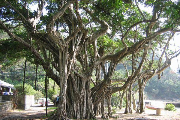 の 木 ガジュマル