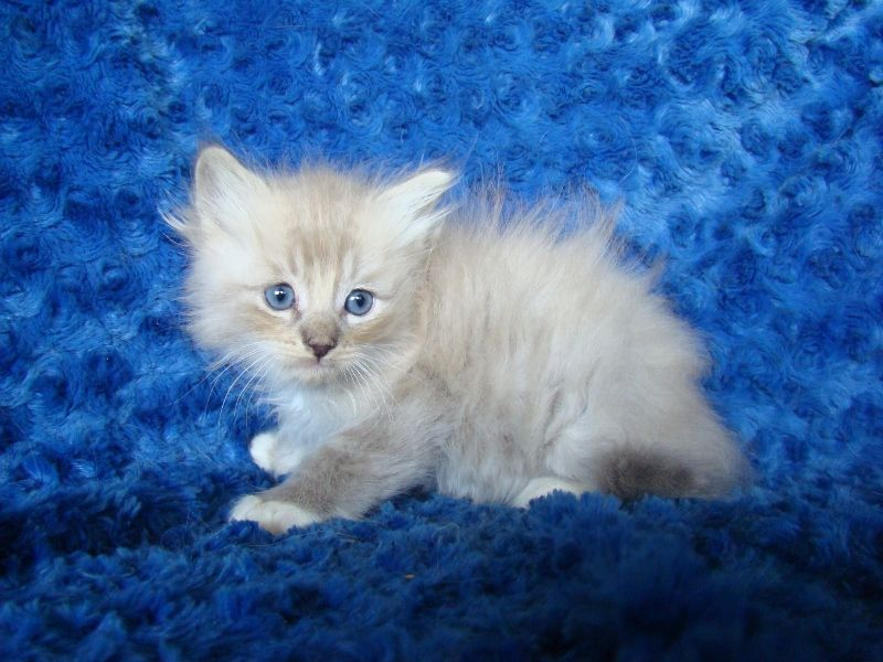 Janessa Blue Mitted Lynx Mink Ragdoll Kitten Pretty Cats Ragdoll Kitten Ragdoll Kittens For Sale