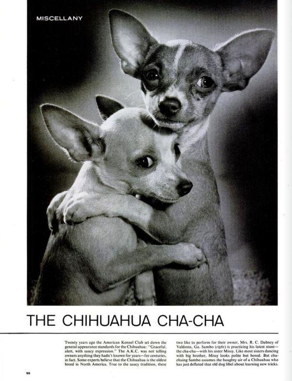 The Unbearable Cuteness Of The Chihuahua Cha Cha Cute