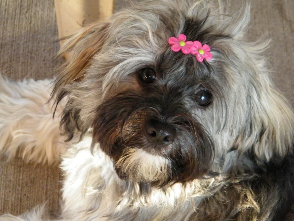 Havanese Puppy So Much Like My Ricky Sans The Pink Bow Lol