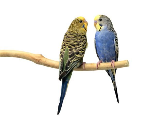 Learn Some Fast Facts About Budgies For Pets Budgies Low