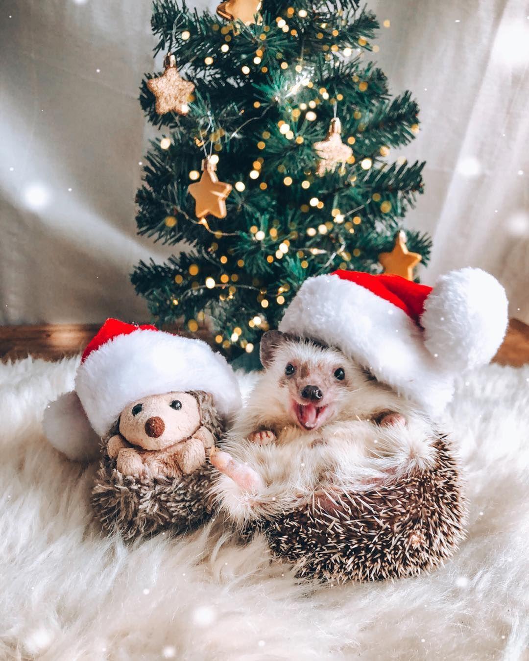Fwtografia Hedgehog Kai Ena Beloydino Paixnidi Skantzoxoiros Sta Xristoygenniatika Kalymmata Briskonta Christmas Animals Cute Little Animals Cute Animal Photos