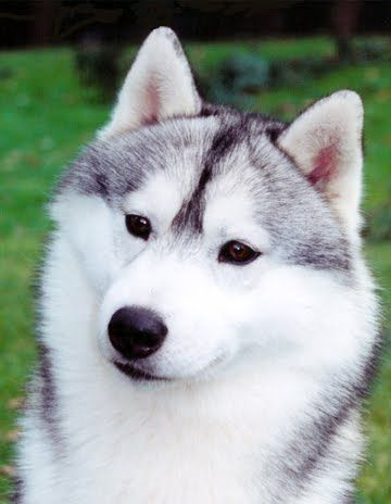Siberian Husky Dog Breeds Dogs