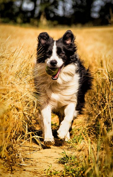 Tumblr Border Collie Via Tumblr Collie Dog Border Collie