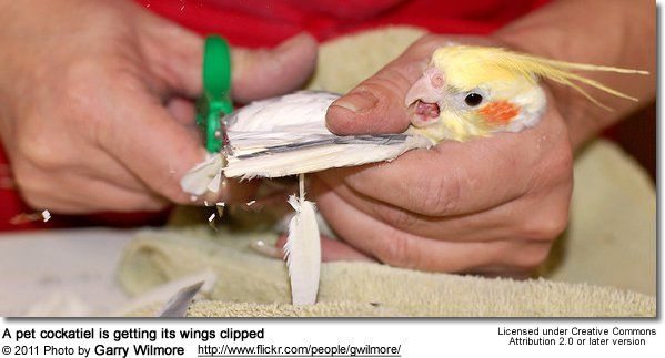 Grooming Pet Birds Wing Nail Beak Trimming Bathing Nbsp