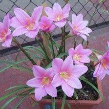 Tanaman Hias Bunga Bibitbunga Com Part 9 Bunga Bunga Bunga Indah Gambar Bunga